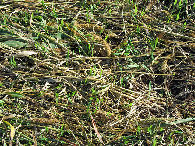 Cash crop planted directly into crimped cover crop